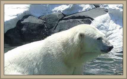 //historiaybiografias.com/archivos_varios5/oso_polar.jpg
