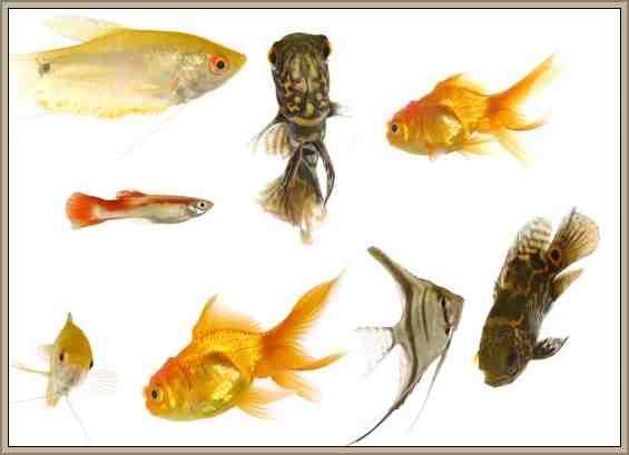 peces cuadro clasificacion reino animal