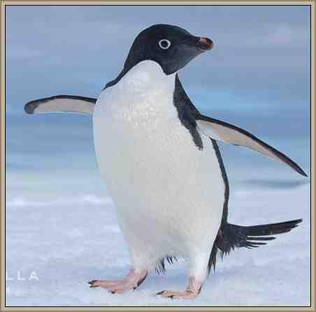 pinguino tierra adelia vida y reproduccion
