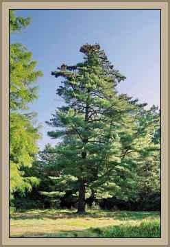 pino de america