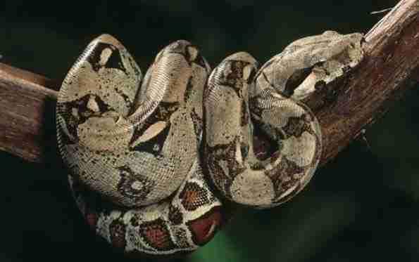 serpiente boa en una rama
