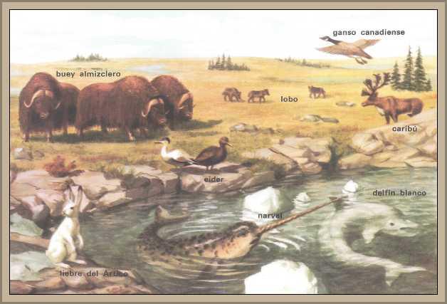 fauna tundra