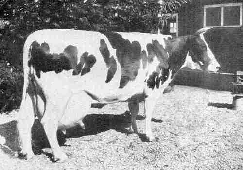 vaca lechea raza holstein